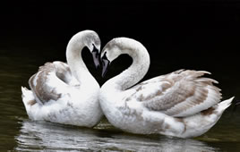The Hanwell Swans - Just Look How They